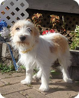 West Chicago Il Wirehaired Fox Terrier Mix Meet Jerett A Puppy