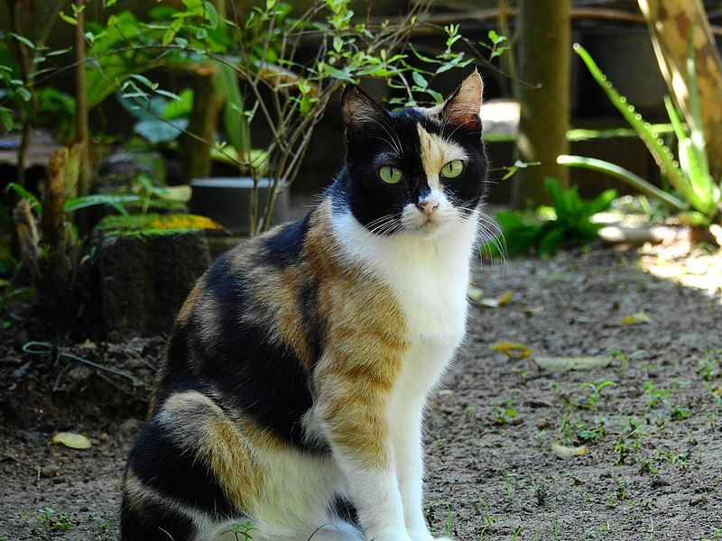 A British Shorthair with a Calico Pattern in 2020 Calico