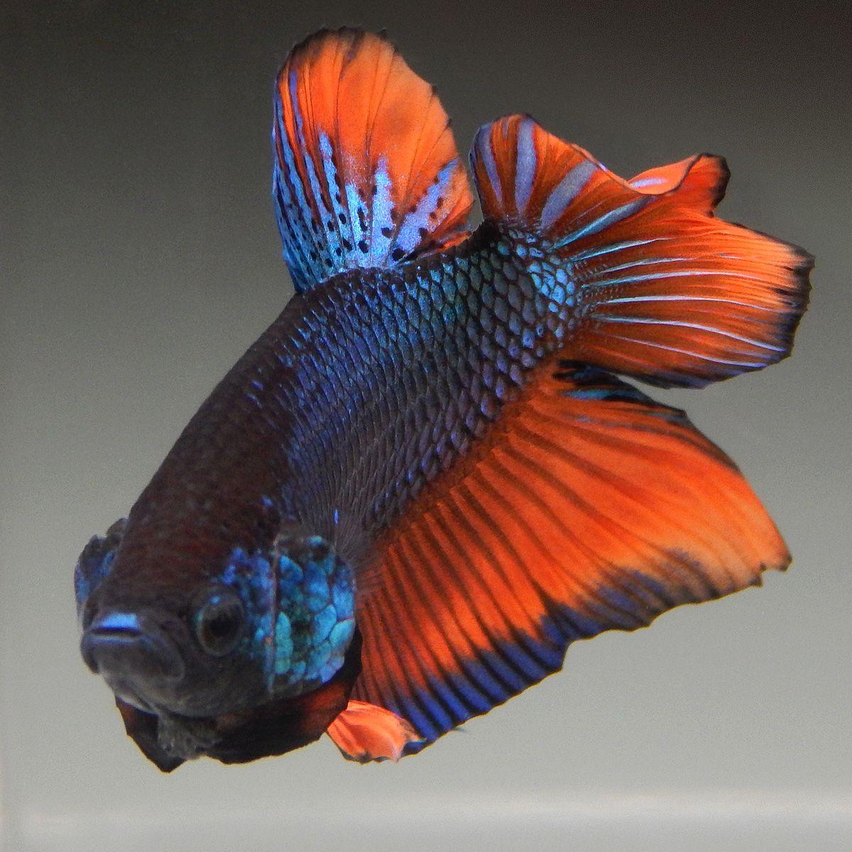 Live Betta Fish (Male) ORANGE METALLIC TURQUOISE FANCY PLAKAT ...