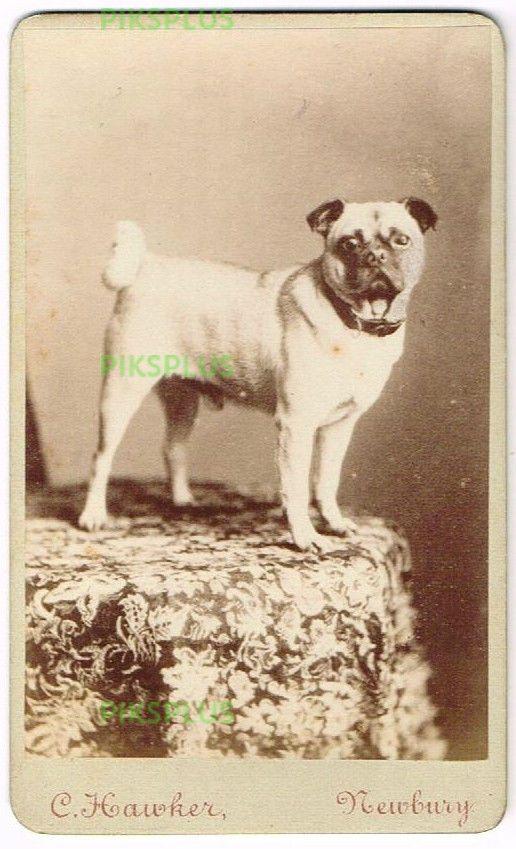 Pug Dog C Hawker Studio Newbury Berks Antique 1880 Pet Pug Pug