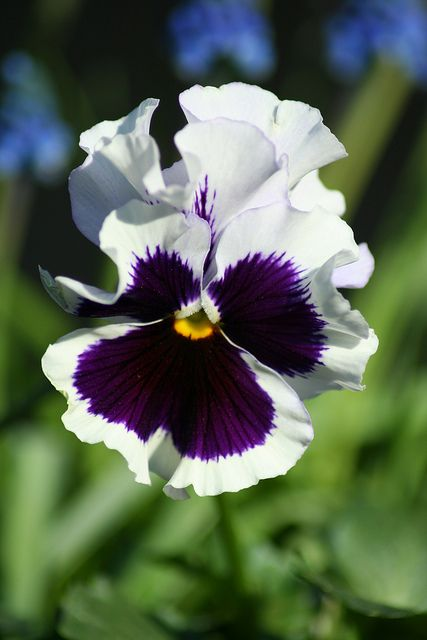 Pansy by christopher.binning, via Flickr