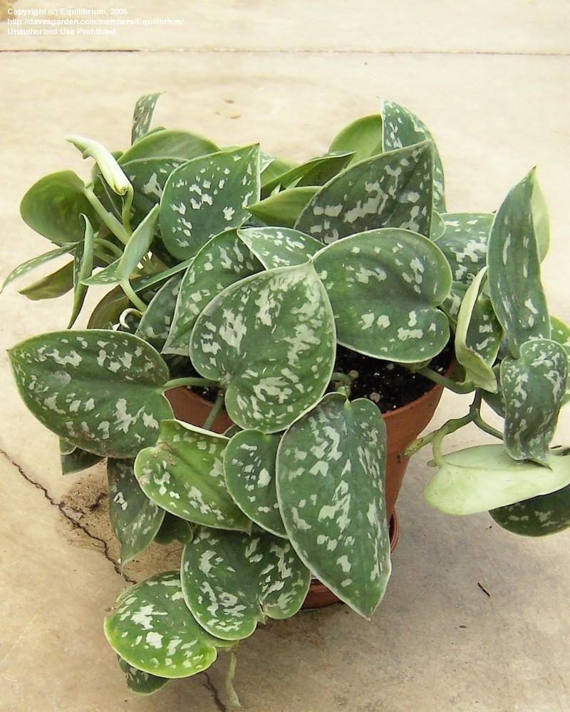 Satin Pothos, Silk Pothos, Silver Philodendron 'Argyraeus ...