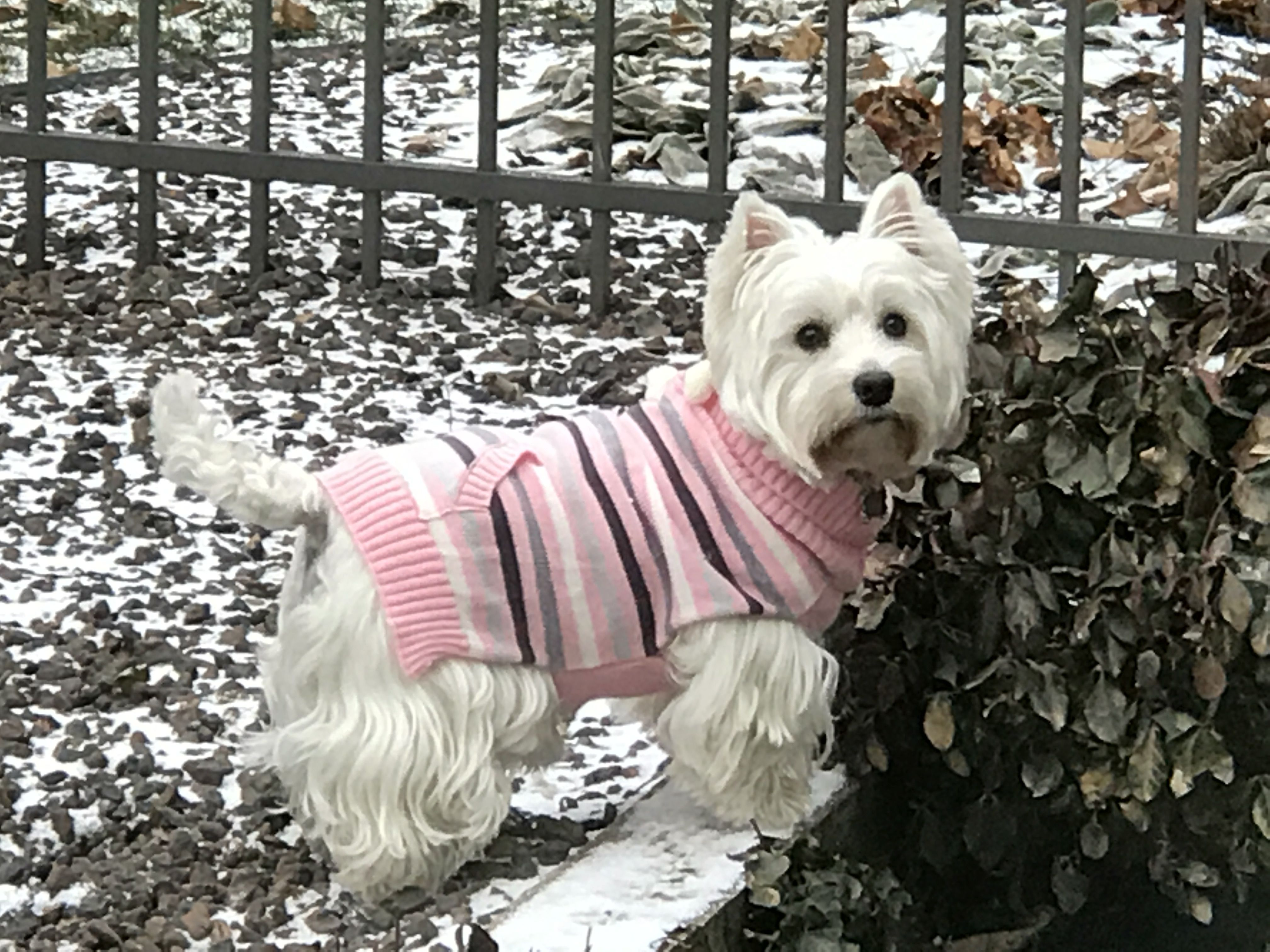 Miss Ella Hunting Westies Doggie Style Animals