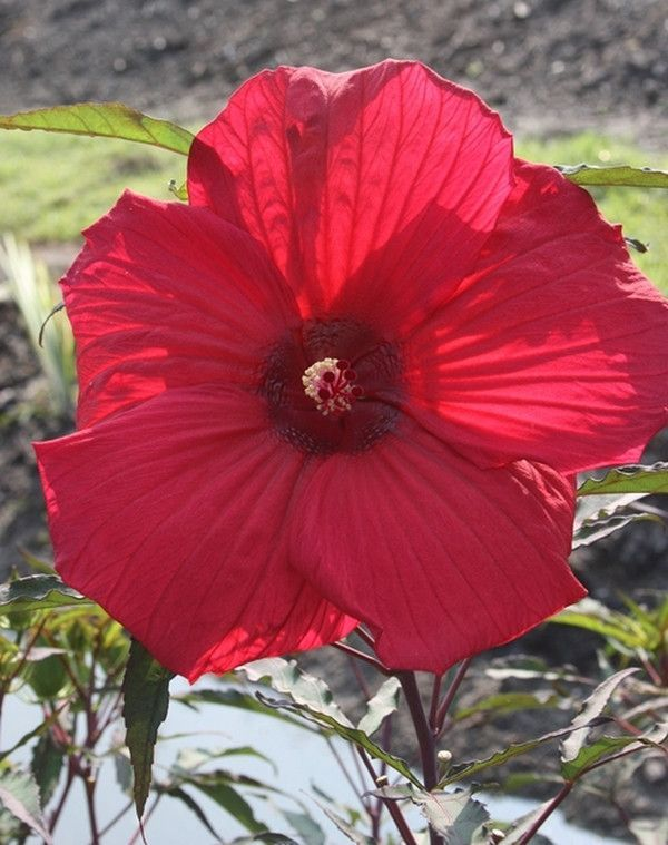 Eleven Easy Tips For Growing Hardy Perennial Hibiscus Flowers