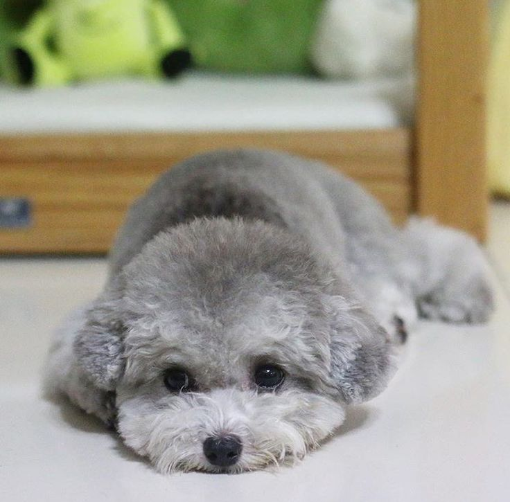 Silver Toy Poodle Tap The Pin For The Most Adorable Pawtastic