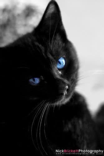Click For A Larger View Schwarze Katze Katzen Katze Mit Blauen