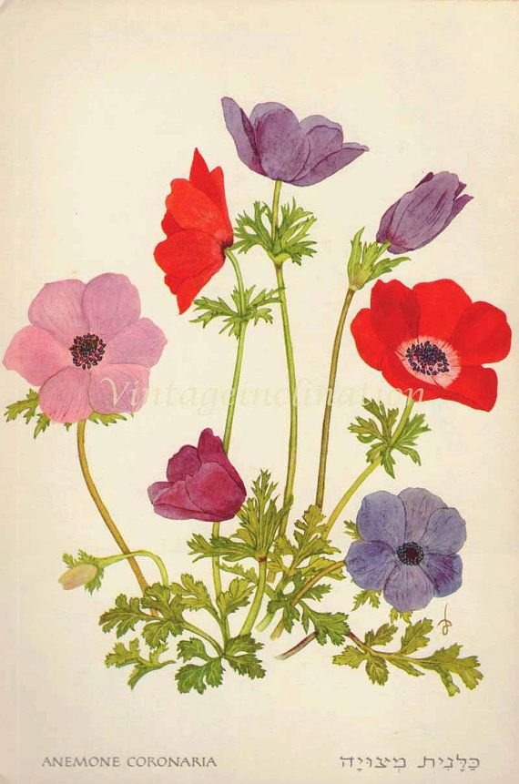 1960 Botany Print Anemone Flowers Vintage Antique Art Illustration Book Plate Natural Science For Framing 52 Years Old Dibujos Ilustraciones Botanicas Flores