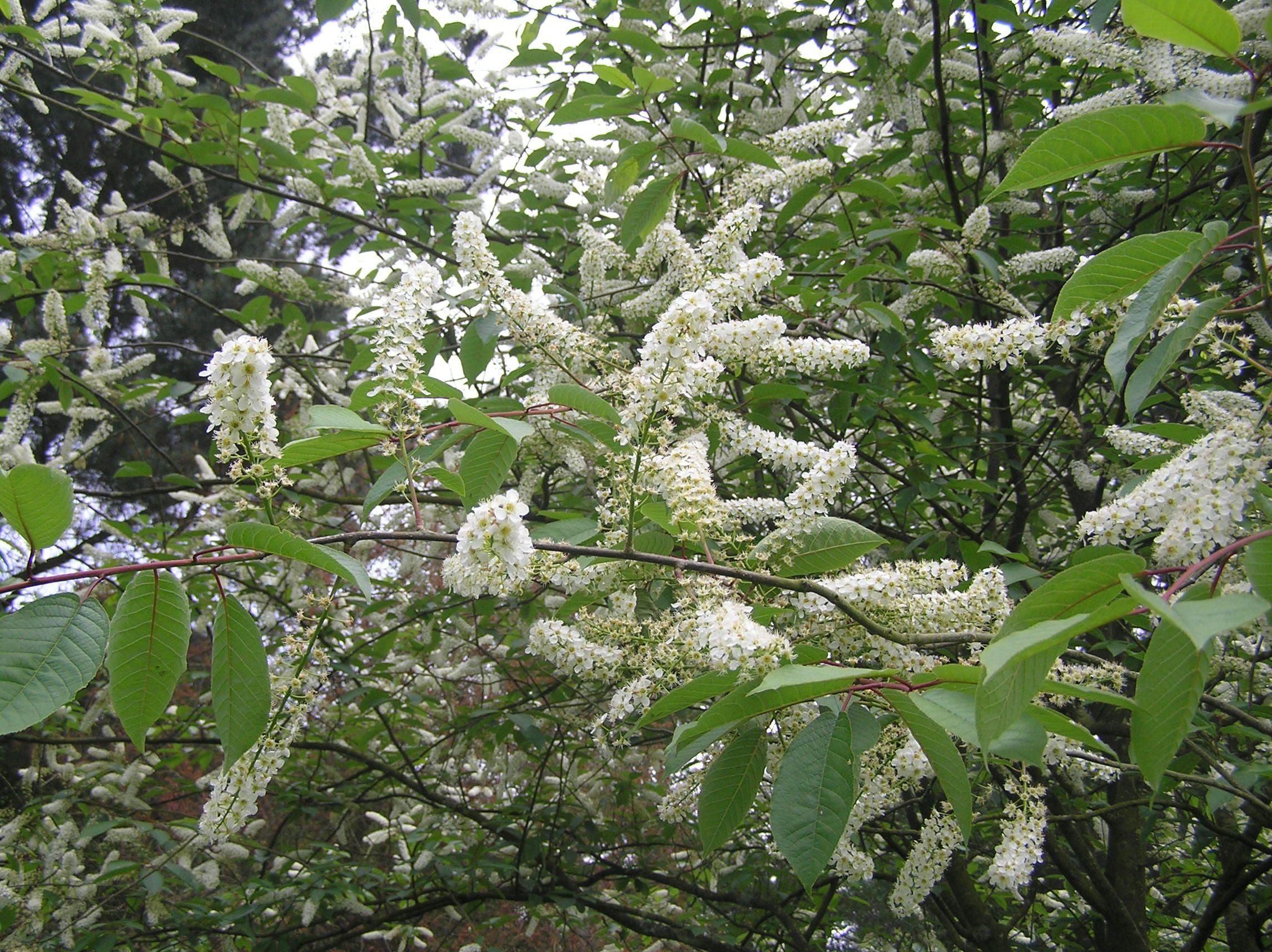 Bird Cherry Prunus Padus Wateri In Flower This Species Is Easy To Spot In April Because Of The Flower Spikes Flower Spike Tree Identification Prunus