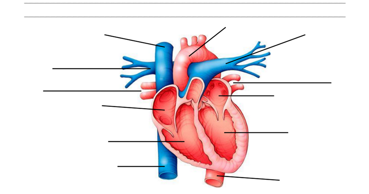 The Heart (2).pdf | Circulatory System Diagram | Pinterest | Pdf and ...