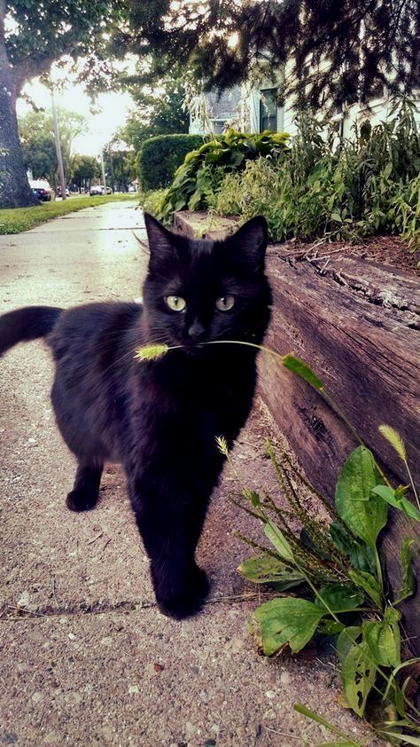 Keep your black cat inside, not just on the 31st, but also in the days leading up to Halloween.
