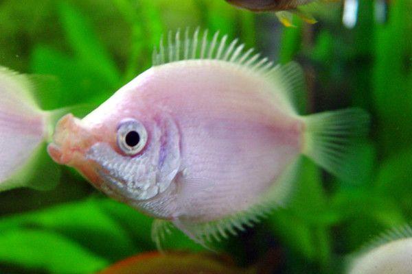Kissing Gourami Kissing Gourami Fish Aquarium Fish