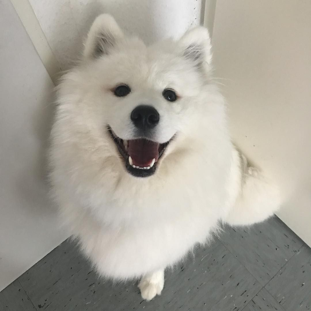 14 Pictures Of Samoyeds Just Being Their Perfect Selves | PetPress