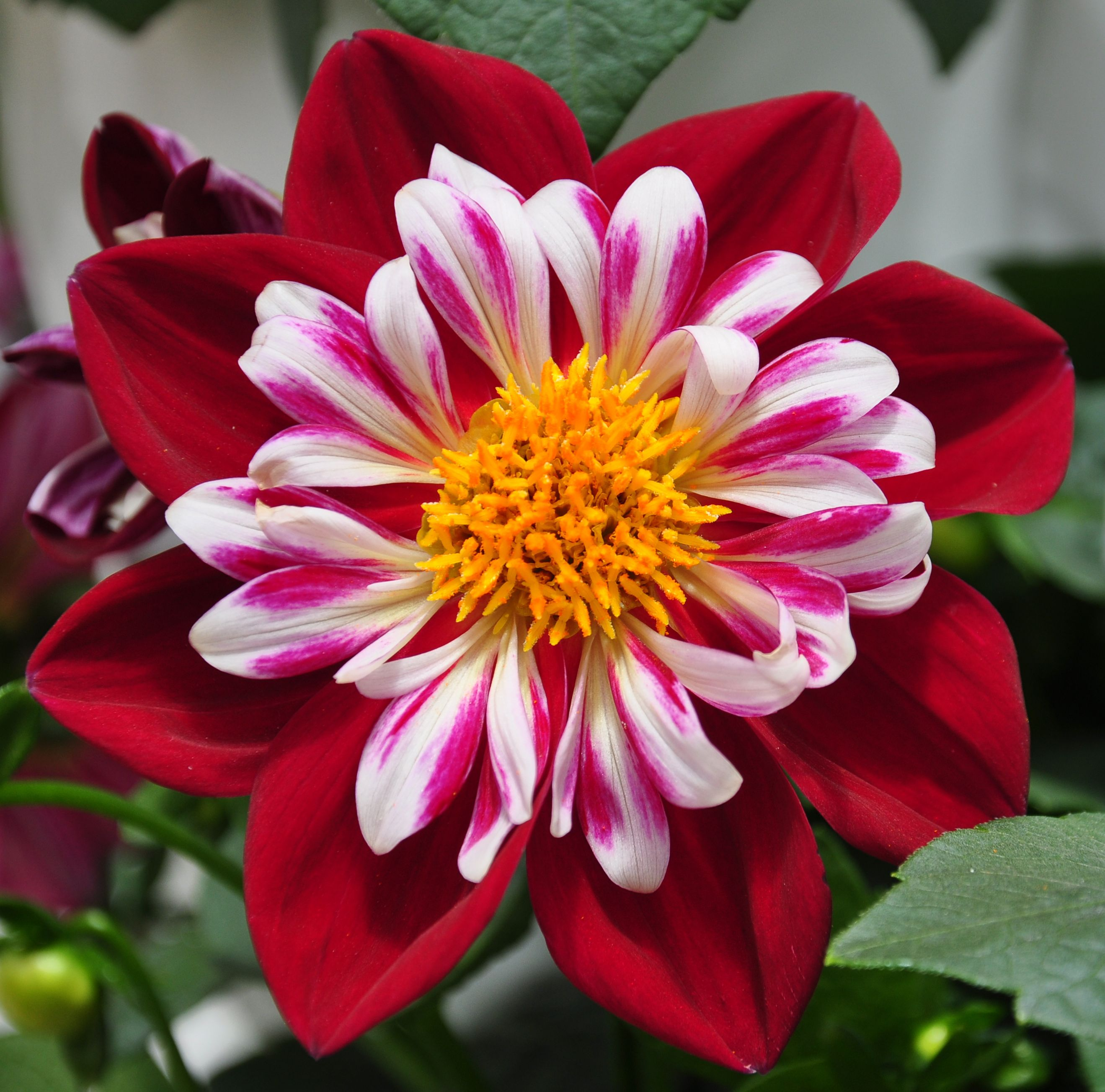 Dahlia Starsister Red White Plants Real Flowers Beautiful Flowers