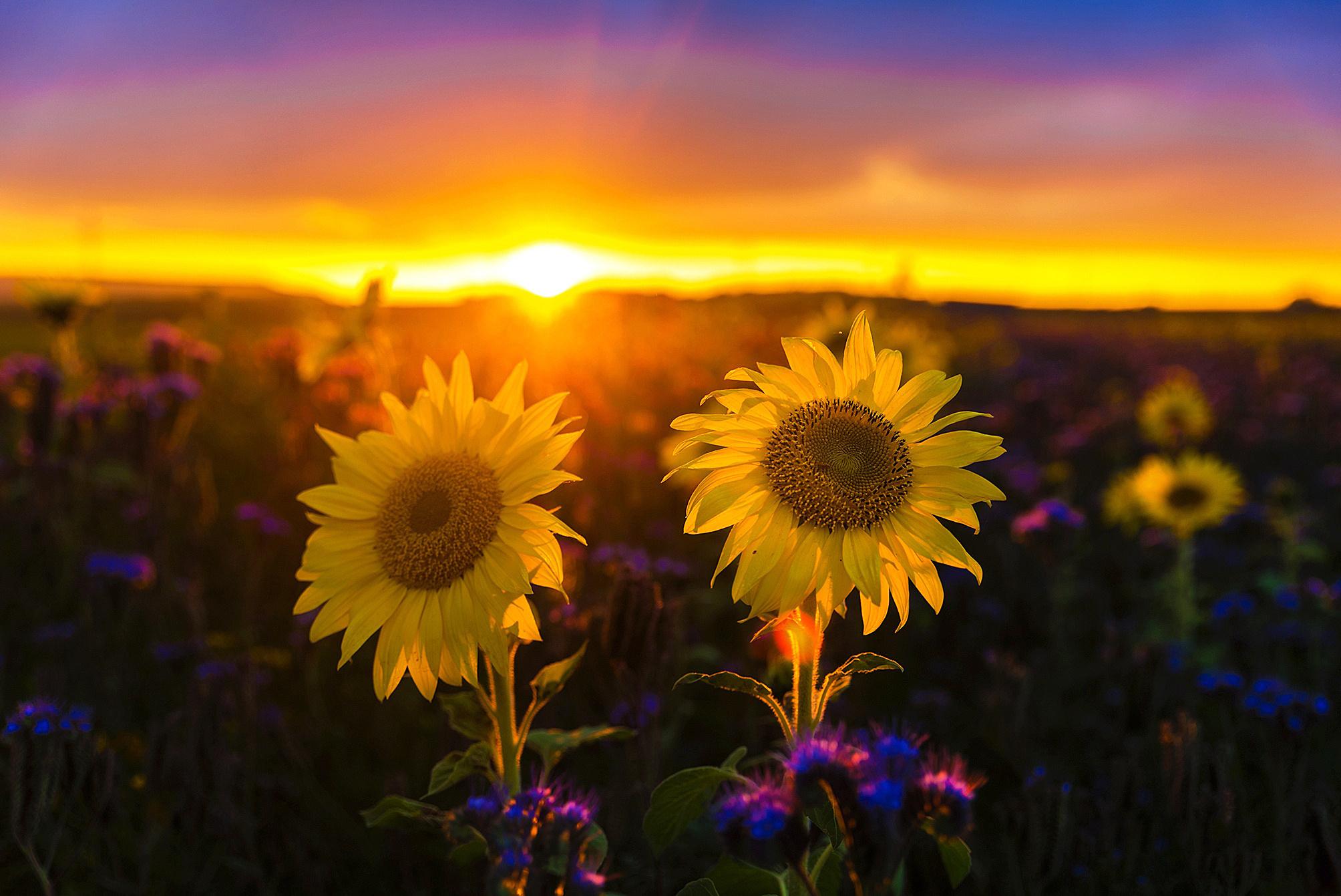 восход солнца лето цветок: 9 тыс изображений найдено в ...