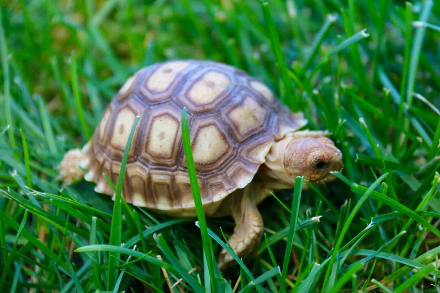 Ornate Box Turtle Turtles for sale, Baby tortoise, Box