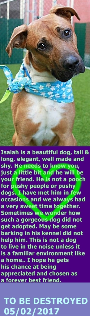 MURDERED 05/02/2017 --- Manhattan Center  My name is ISAIAH. My Animal ID # is A1109130. I am a neutered male brown pit bull. The shelter thinks I am about 2 YEARS old.  I came in the shelter as a STRAY on 04/17/2017 from NY 10467, owner surrender reason stated was STRAY.  http://nycdogs.urgentpodr.org/isaiah-a1109130/
