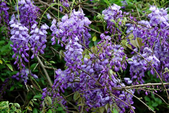 wisteria branches | Thank goodness for zoom lenses -- they do come in handy sometimes!