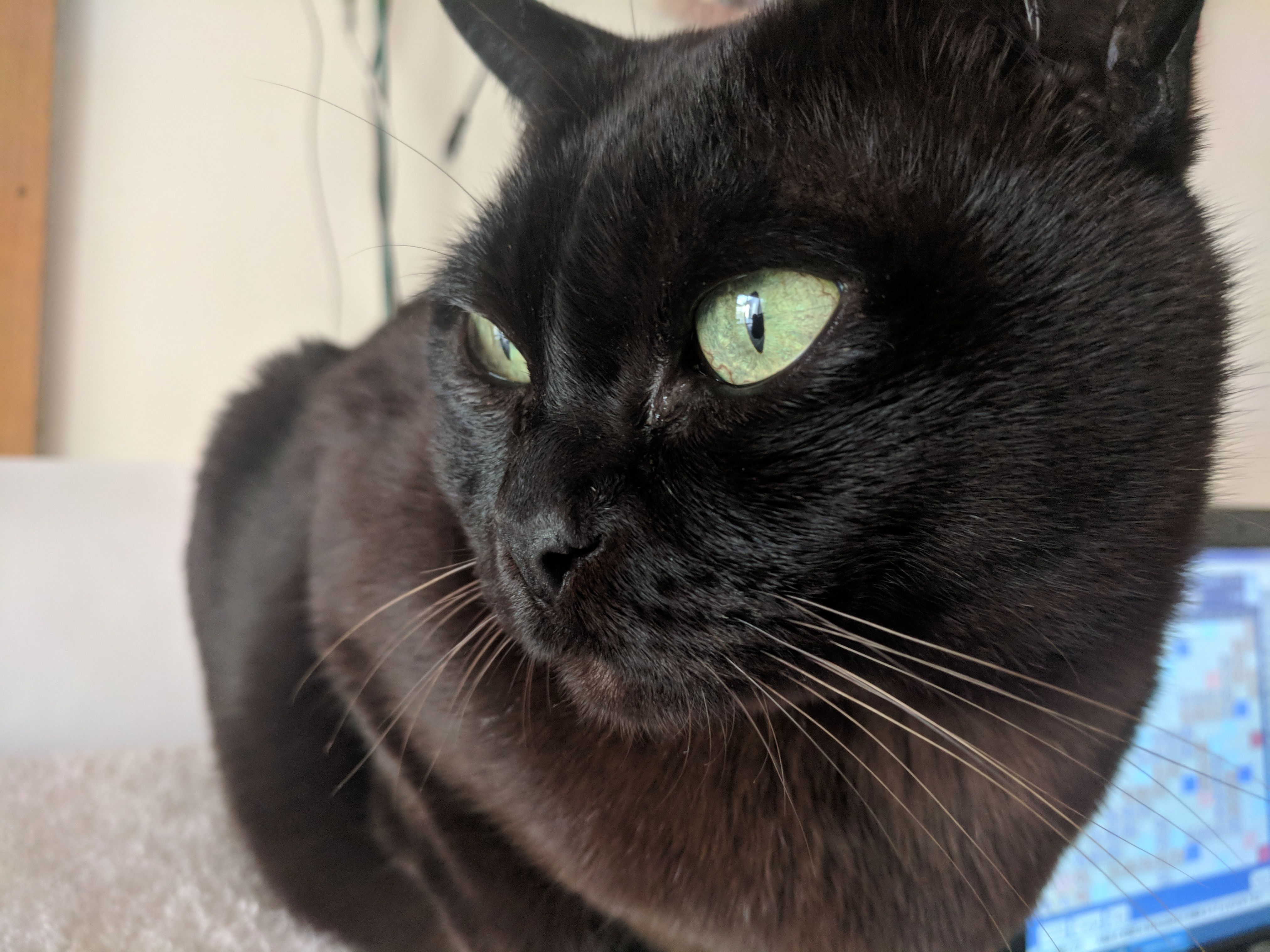 Male Chocolate Burmese Cat Burmese Cat Cats Pets