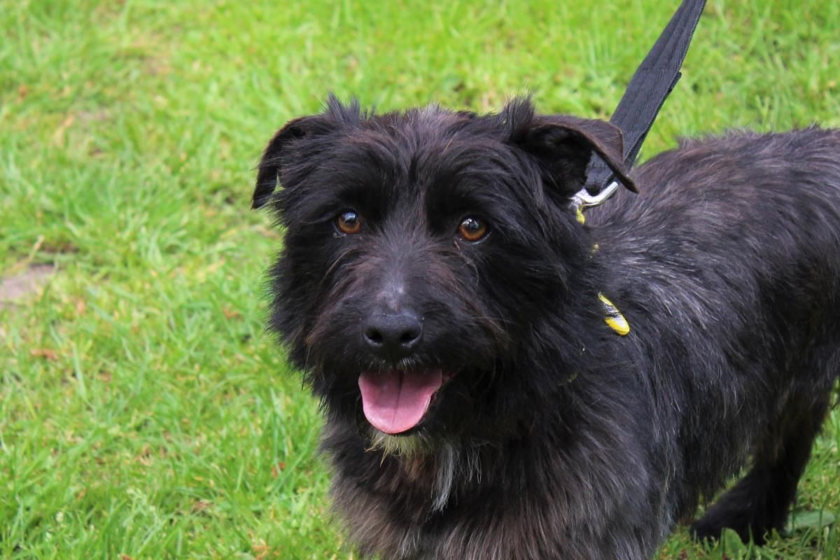 Adopt A Dog Taylor Terrier Cairn Dogs Trust Dogs Trust Dogs Rehoming