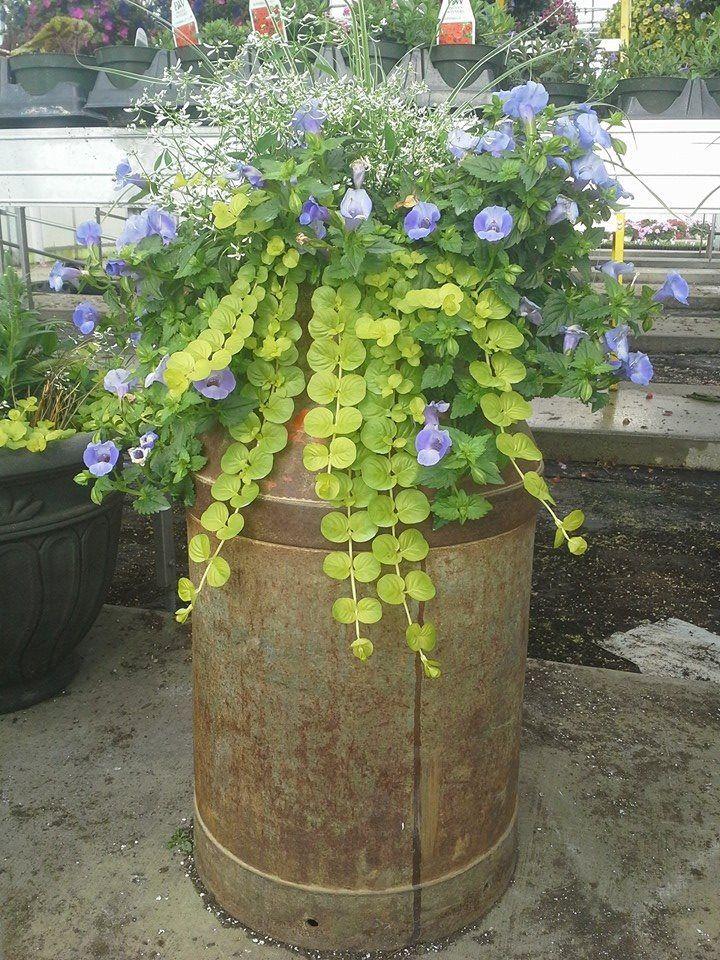 Photo of En gammeldags melk kan plantes med Summerwave Torenia, Creeping Jenny og D …