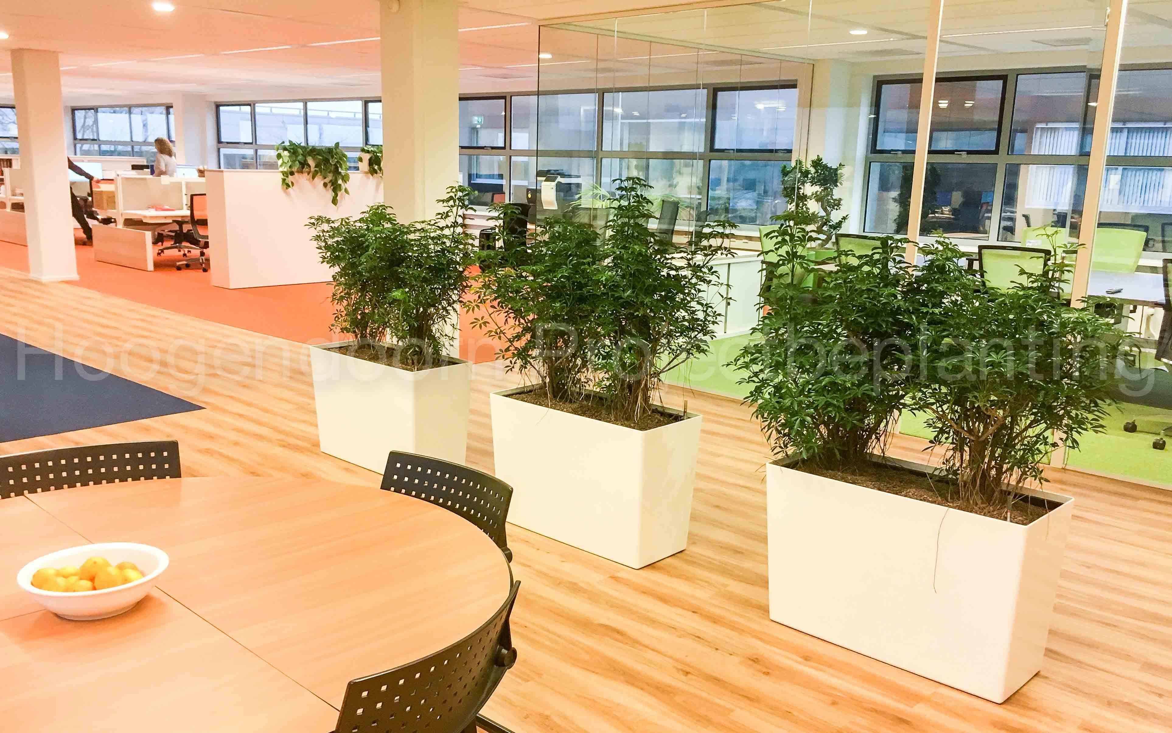 Schefflera louisana busch hydrocultuur for Interieur bedrijf