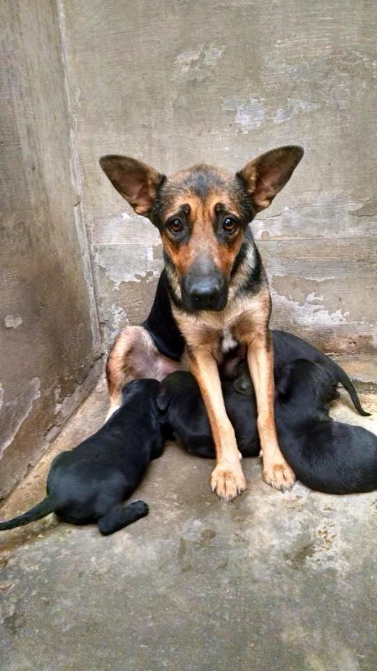 Super Urgent Mama Pups Gs Needs A New Foster In Odessa