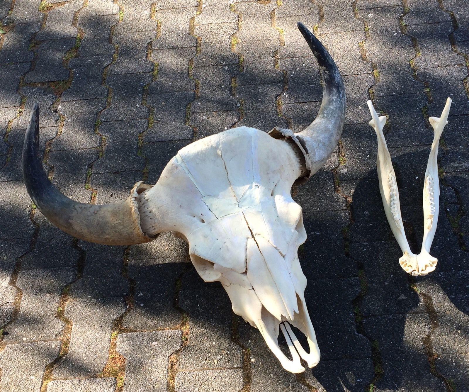 Schädel vom kapitalen Bison Rarität! Skull Taxidermy ...