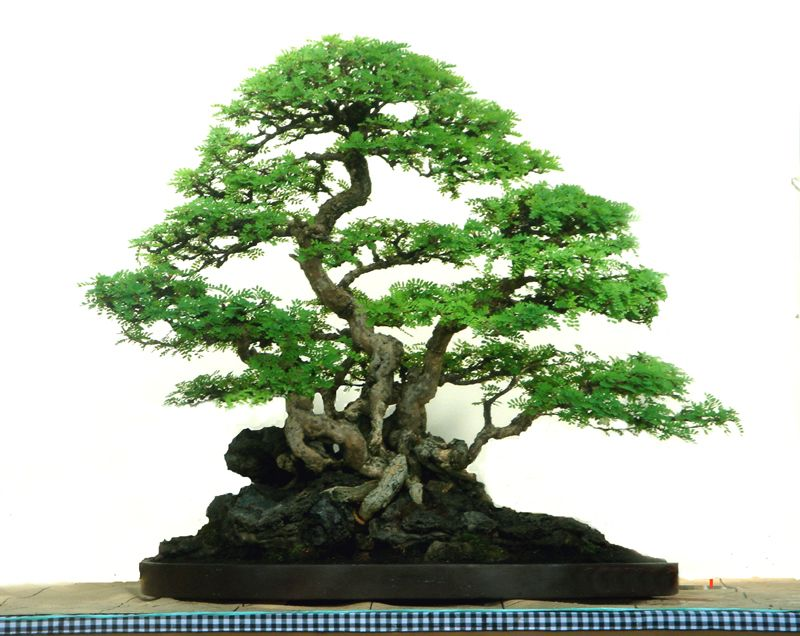 bonsai gallery of rudi julianto bonsai pinterest