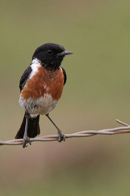 The African Stonechat (Saxicola torquatus) is a species of the Old World flycatcher family (Muscicapidae), inhabiting sub-Saharan Africa and adjacent regions. Pic by BobLewis