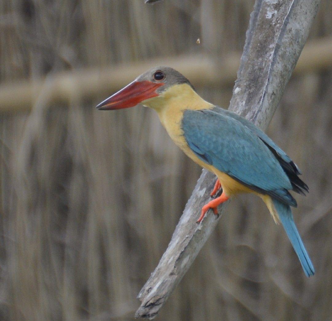 Stork Billed Kingfisher Kingfisher bird, Kingfisher, Animals