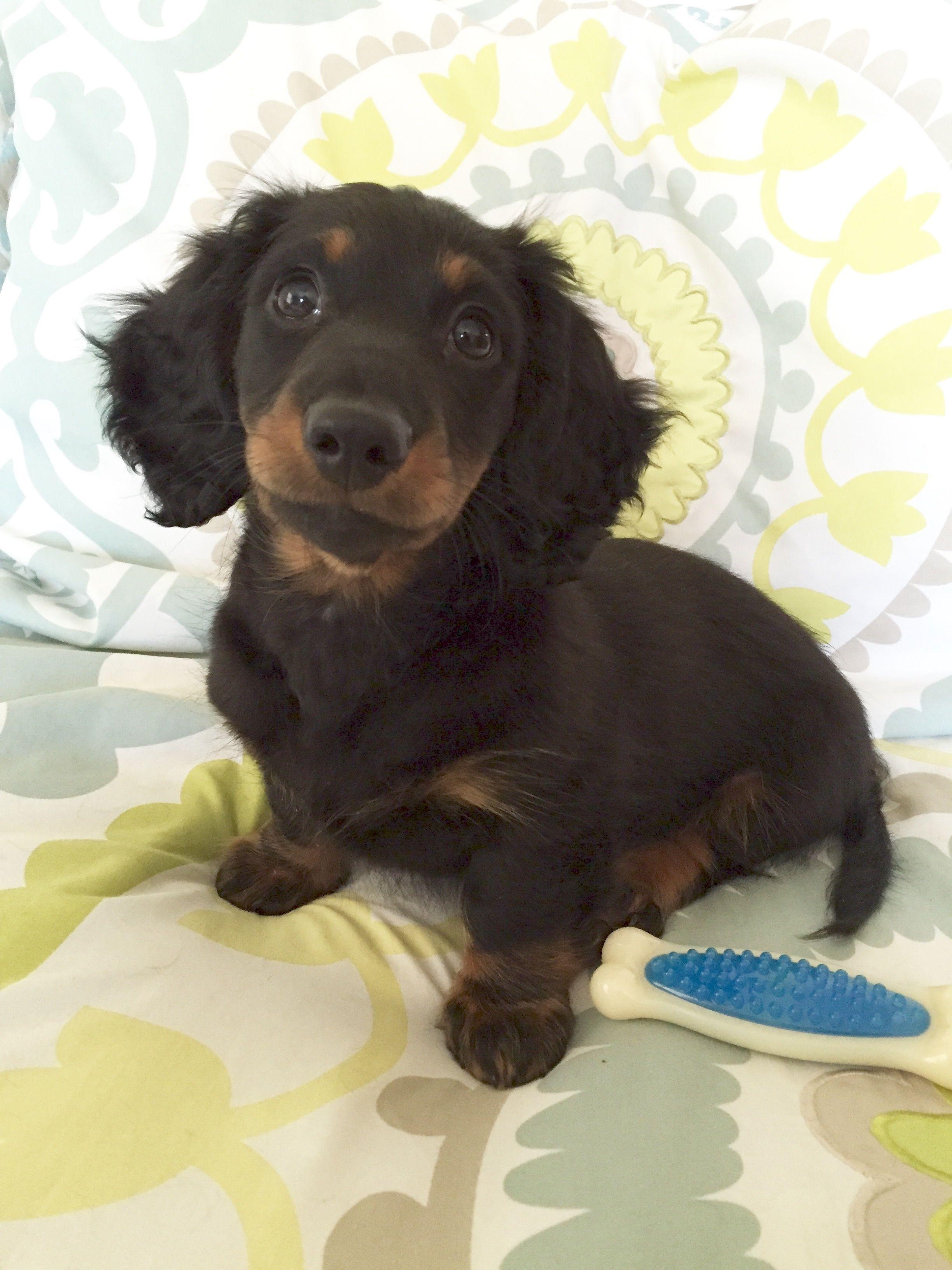 11 Weeks Pets Dachshund Baby Dachshund