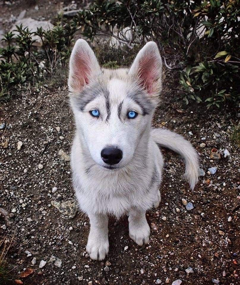 Pin By Wava Butler On Animals Blue Eyed Husky Puppy Husky Puppy
