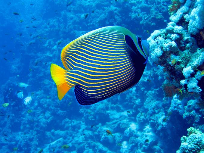 Emperor Angelfish The Complete Care Guide Fishkeeping World In 2020 Angel Fish Fish Pet Saltwater Aquarium