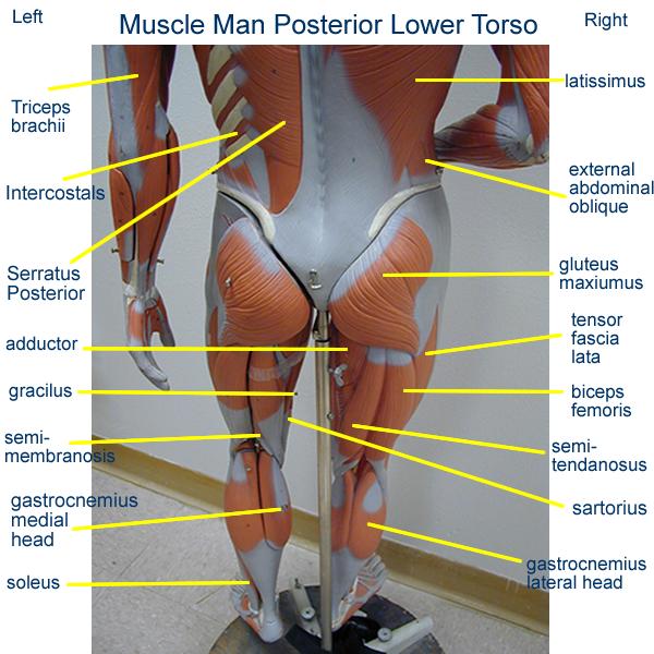 small+torso+muscle+models   head posterior arm model leg model ...