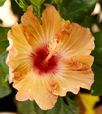 Hibiscus Bush Favorite Flora Hibiscus Plant Hibiscus