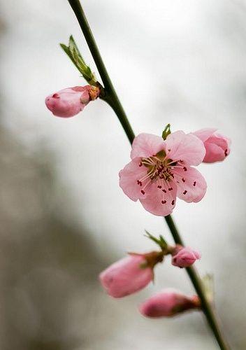 Fiori Bianchi Fiori Di Pesco.Fiori Rosa Fiori Di Pesco Via Designlovely Tumblr Com Fiori