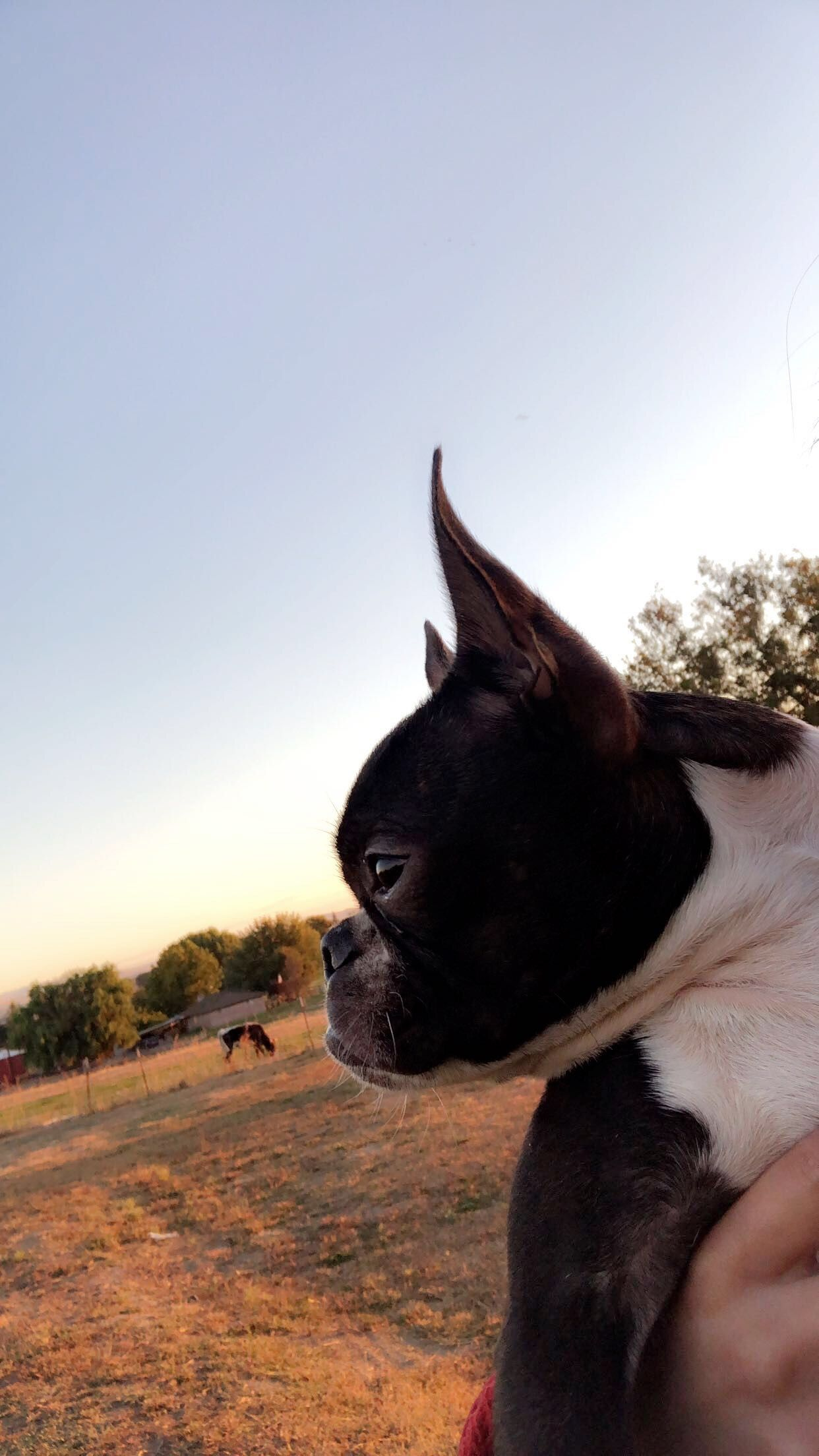 Pin By Gina Gonzalez On Mr Peters The Boston Terrier Boston Terrier Love Boston Terrier Dog Boston Terrier Lover