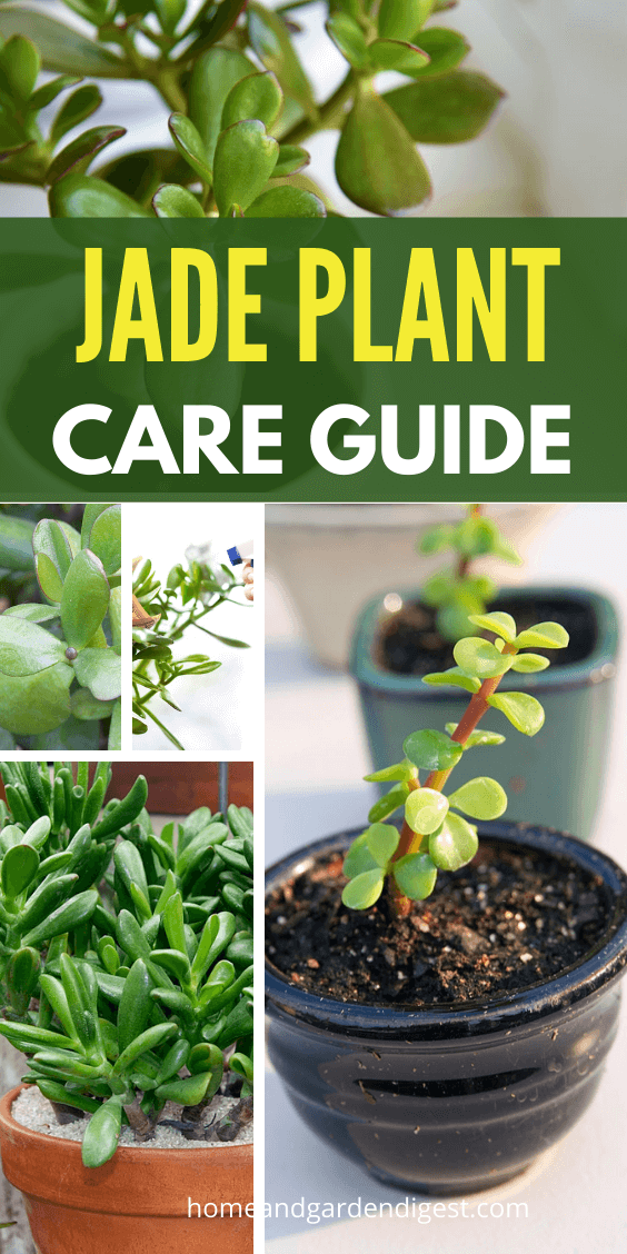 Jade Plant How To Grow and Care for Jade Plants (Facts