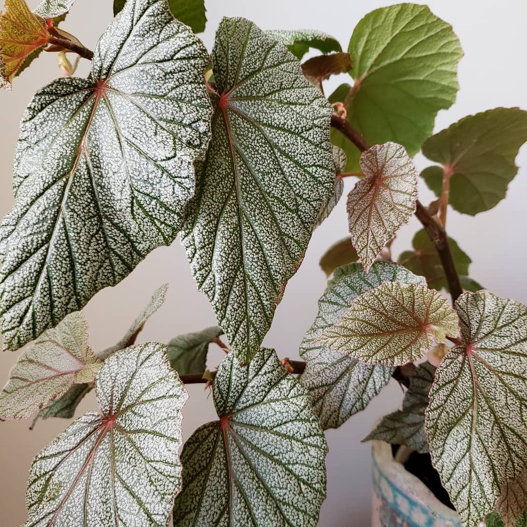Begonia Sinbad Indoor Flowering Plants Shade Plants Indoor Shade Plants