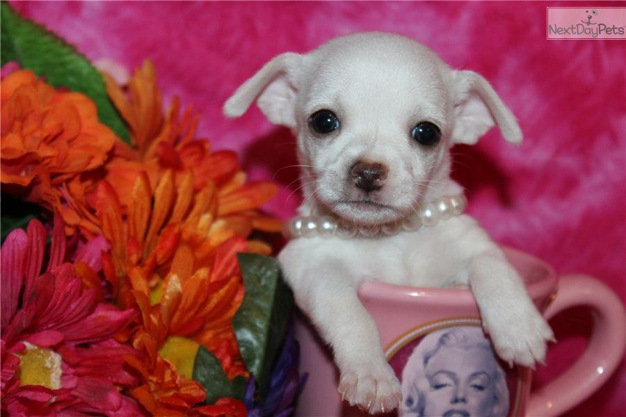 Chihuahua puppy for sale near mcallen edinburg texas
