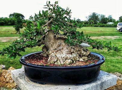 10 Privet Bonsai Ideas Bonsai Bonsai Tree Bonsai Garden