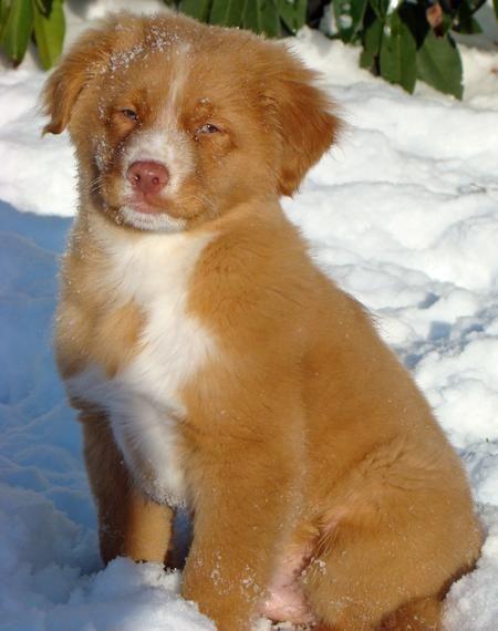 Puppy Loving The Snow Of Coarse Nova Scotia Duck Tolling Retriever Cute Animals Nova Scotia Duck Tolling