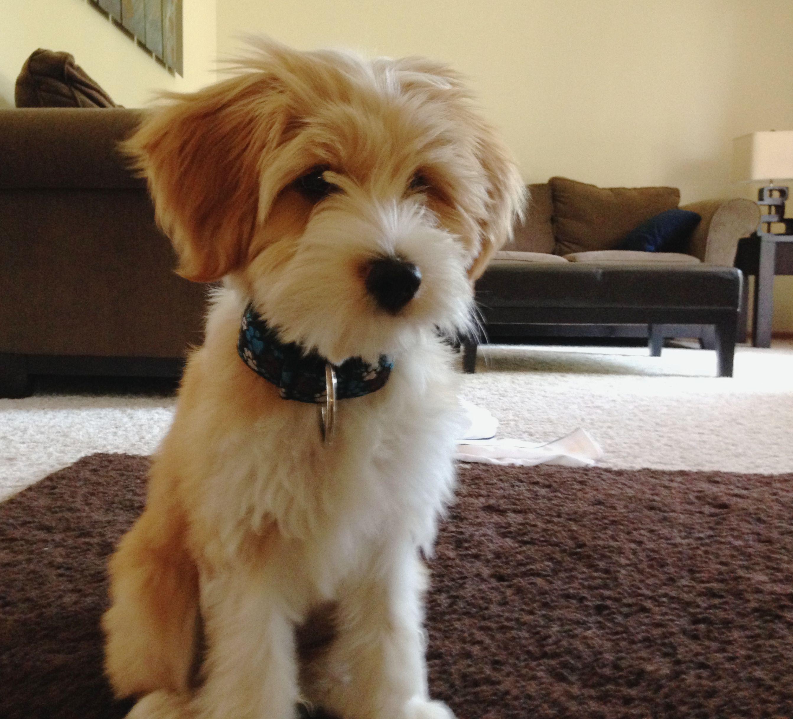 Tibetan Terrier Cute Dogs Cute Animals Cool Pets