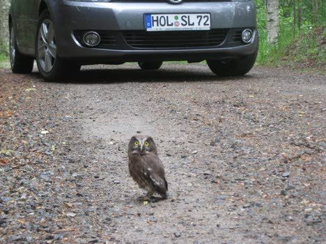 Owl as a road stopper
