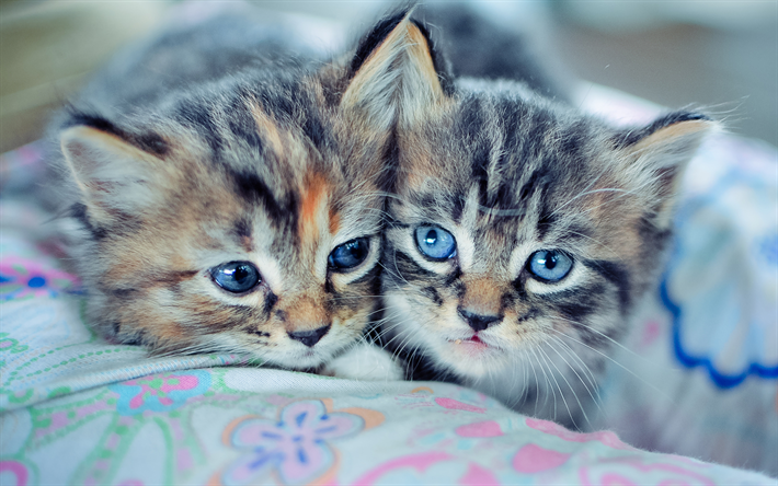 Download Wallpapers Manx Kittens Pets Freinds Domestic Cat Small Manx Cute Animals Cats Manx Cat Samye Milye Zhivotnye Kotyata