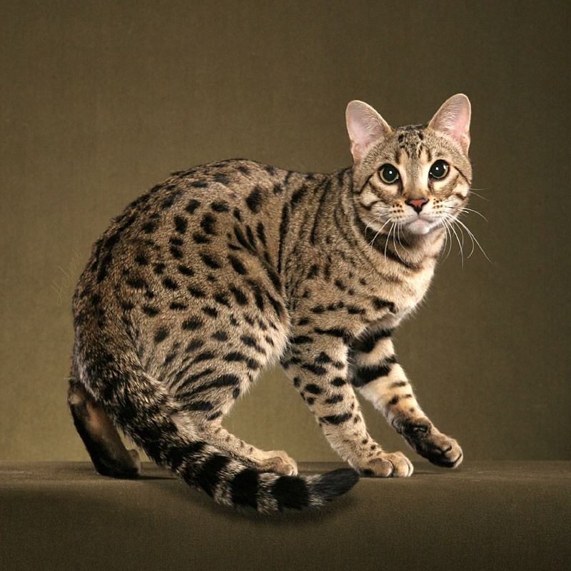 This Is Ravi A Brown Spotted Bengal Male He Looks To Be Very Close To His Asian Leopard Cat Ancestor But Is In Fact Bengal Kitten Bengal Cat For Sale Cats