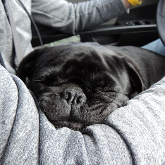 Is Snoring A Bad Sign In Dogs Pug Puppies Pug Puppies Price