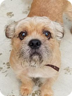 Pictures Of Archie A Pug Shih Tzu Mix For Adoption In Duquoin Il