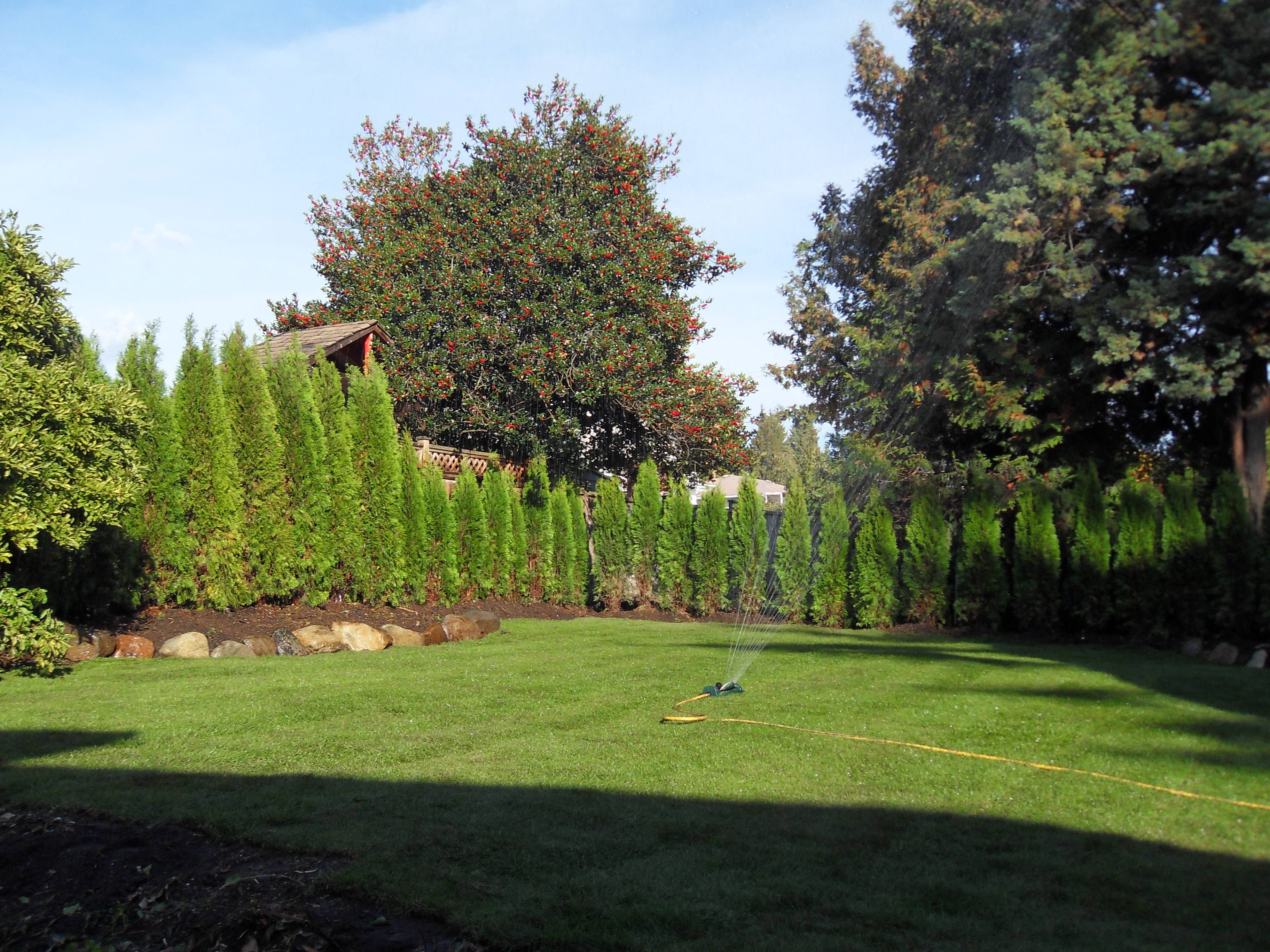 planting cedar hedges in vancouver abbotsford cedar tree siding