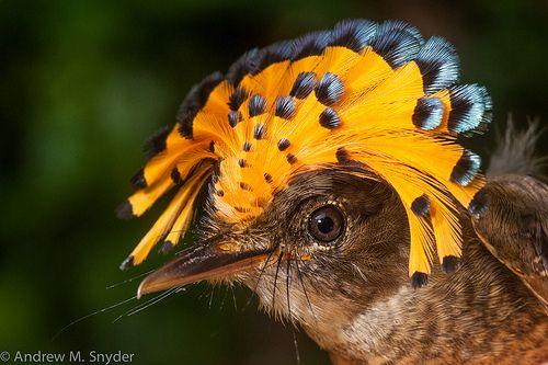 Juvenile amazonian royal flycatcher (Onychorhynchus coronatus) from Iwokrama, Guyana.